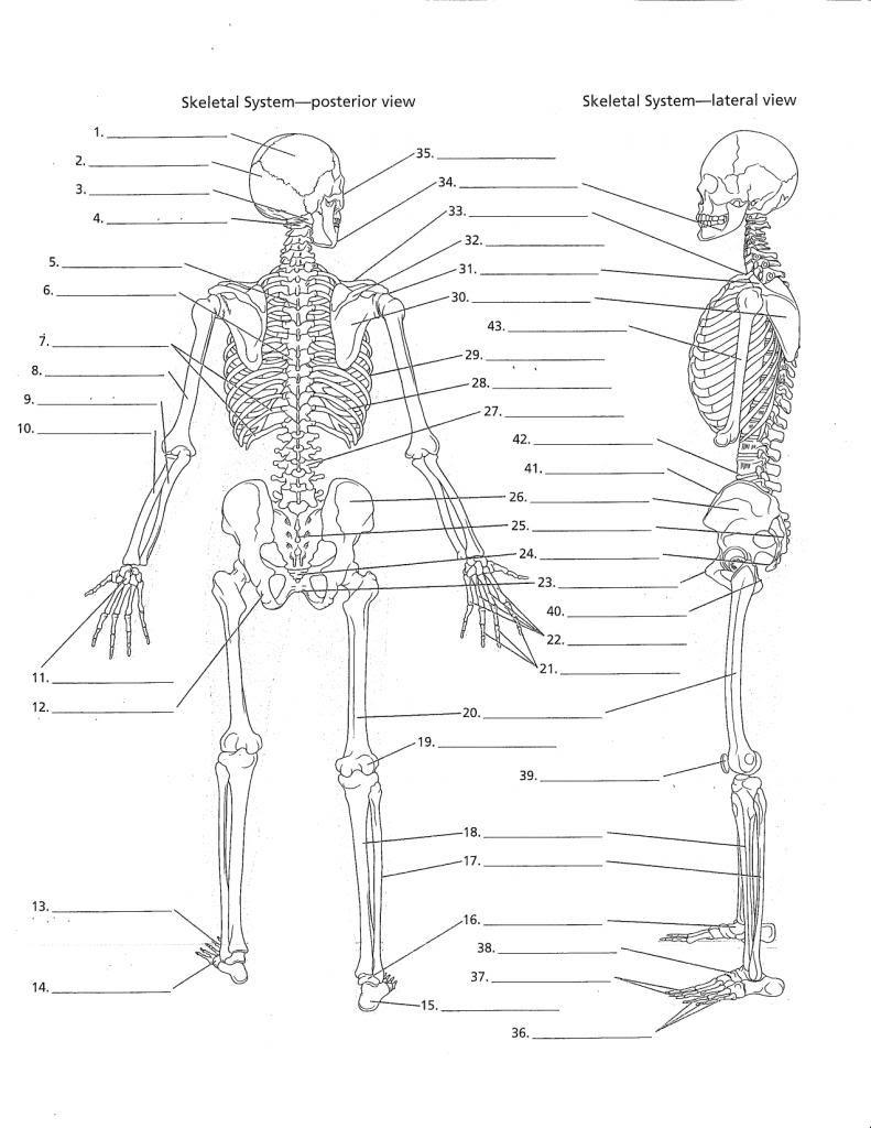 Anatomy Labeling Worksheets - Google Search | I Heart Anatomy | Free Printable Human Anatomy Worksheets