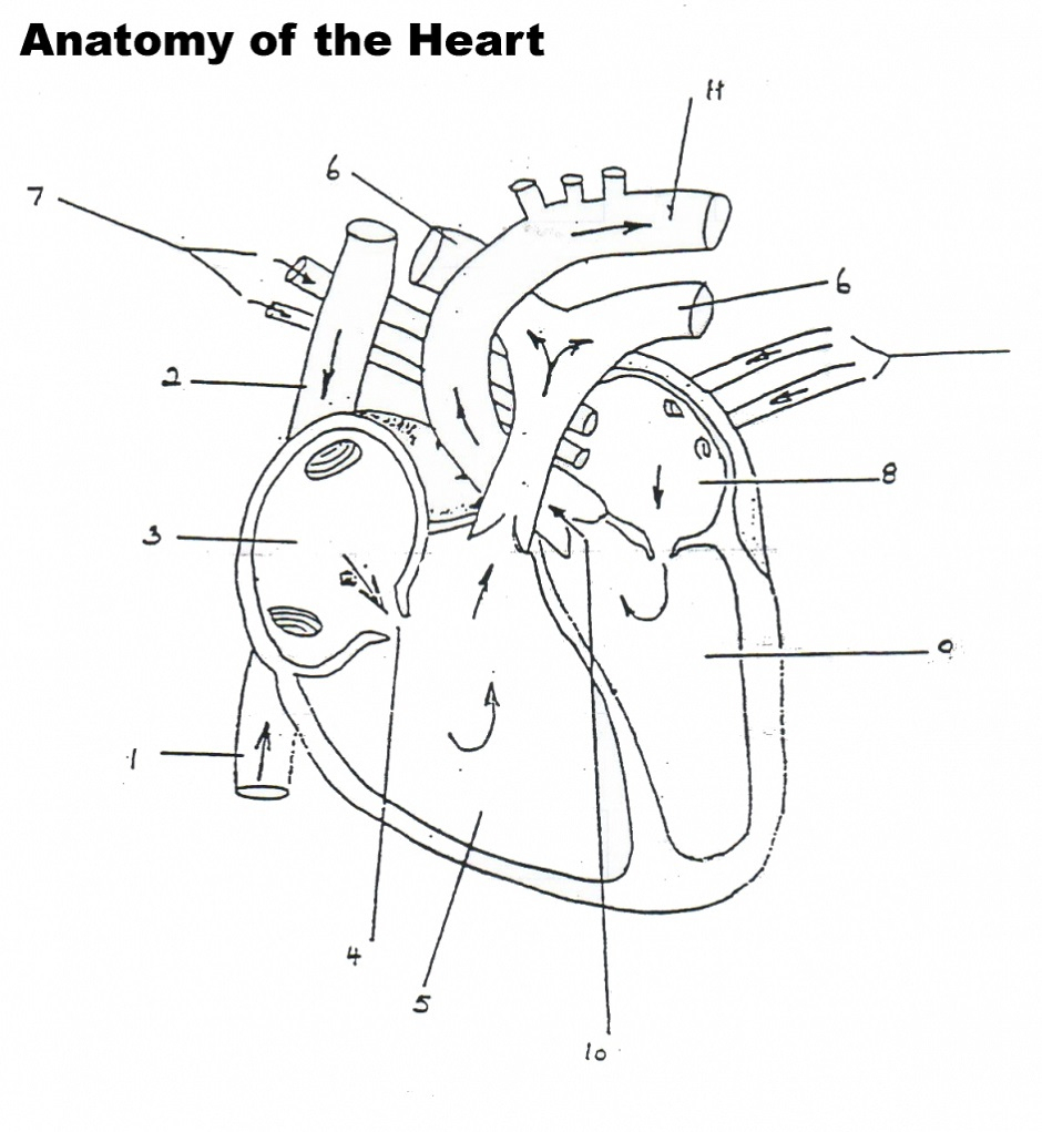 Blood Flow Through The Heart Diagrams | Diagram Link | Heart Diagram Printable Worksheet