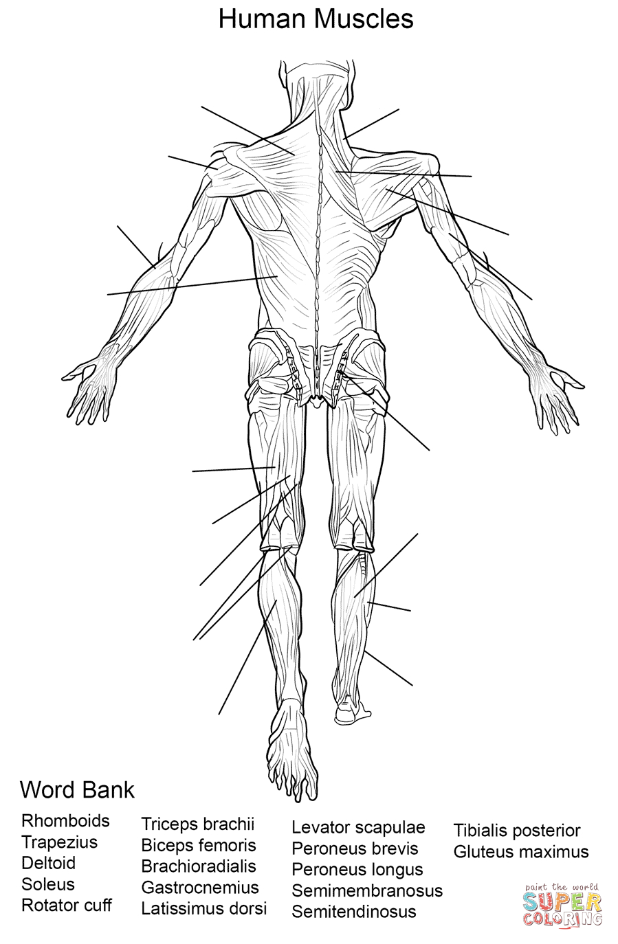 Human Muscles Back View Worksheet Coloring Page | Free Printable | Free Printable Human Anatomy Worksheets