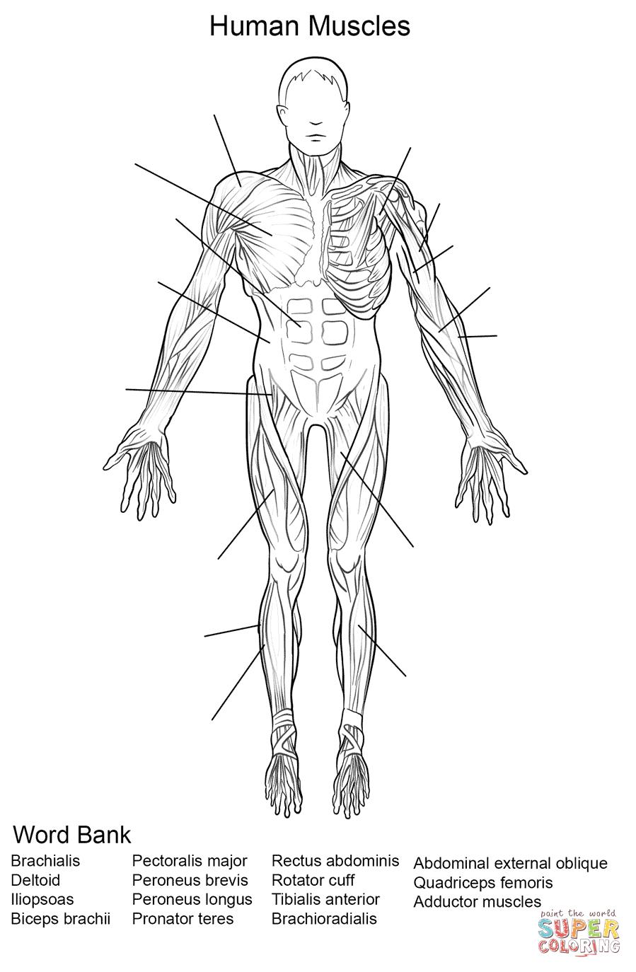 Human Muscles Front View Worksheet Coloring Page | Free Printable | Free Printable Human Anatomy Worksheets