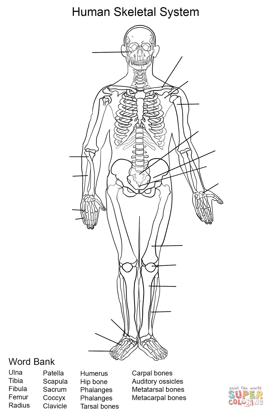 Human Skeletal System Worksheet Coloring Page | Free Printable | Human Skeleton Printable Worksheet