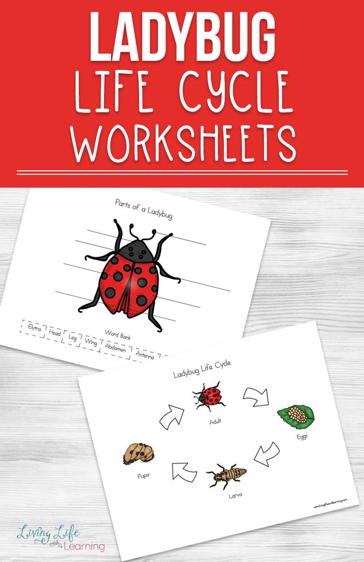 Ladybug Life Cycle Worksheets For Kids | Free Printable Ladybug Life Cycle Worksheets