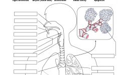 Respiratory System Without Labels Human Respiratory System | Printable Worksheets On The Lungs
